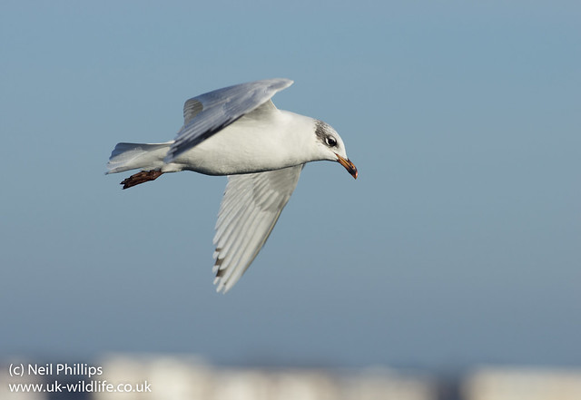 mediterranean gull in flight-2