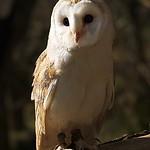Olivia the Barn Owl