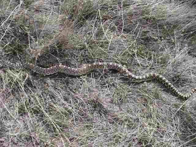 Bull Snake Seen In Montana A Rather Large Bull Snake Flickr Photo Sharing