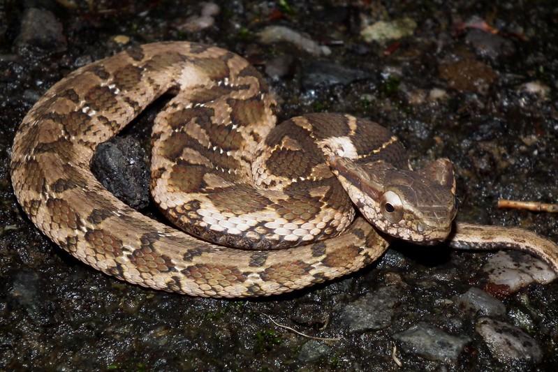 擬龜殼花,還是條剛出生的小蛇,夠可愛吧?您忍心欺負牠嗎?牠可是非常溫馴的動物呢!