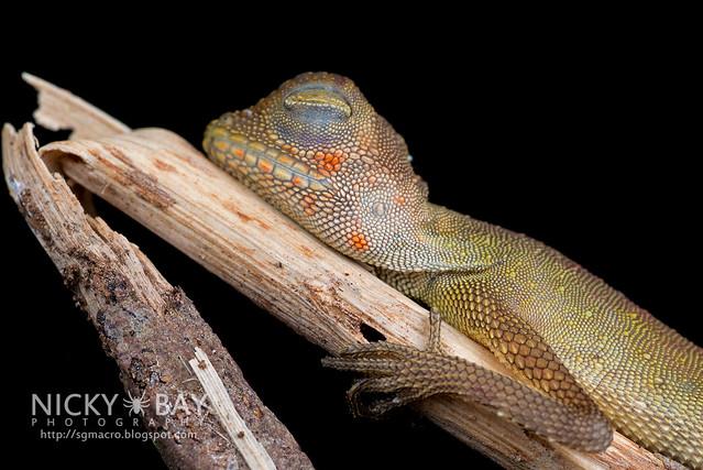Earless Agamid (Aphaniotis fusca) - DSC_4899