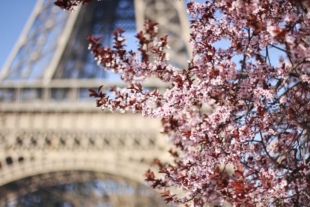 Cherry blossom in the Champ de Mars