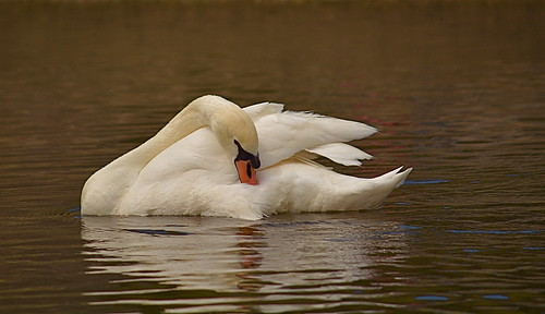 Just Another Swan