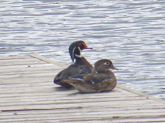 Wood Ducks, Lake Joy, Washington 4/2/14