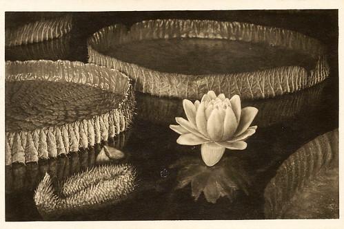 Victoria Regia Riesenseerose Seerose München Botanischer Garten alte Ansichtskarten