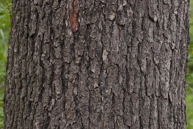 Prunus serotina, bark ... What Prunus Serotina Bark Look Like