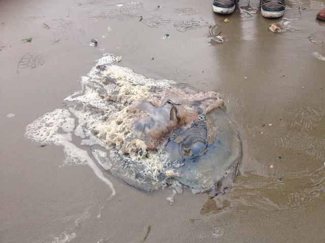 Barrel Jellyfish (Rhizostoma pulmo)