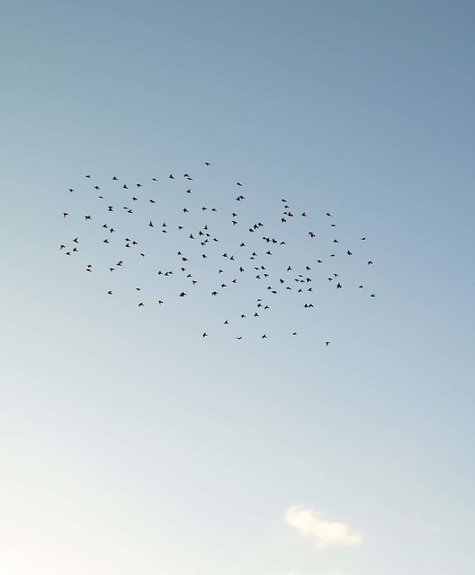 Flock of Starlings at Dusk: Lewes to Saltdean