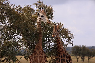 Giraffes in the tress