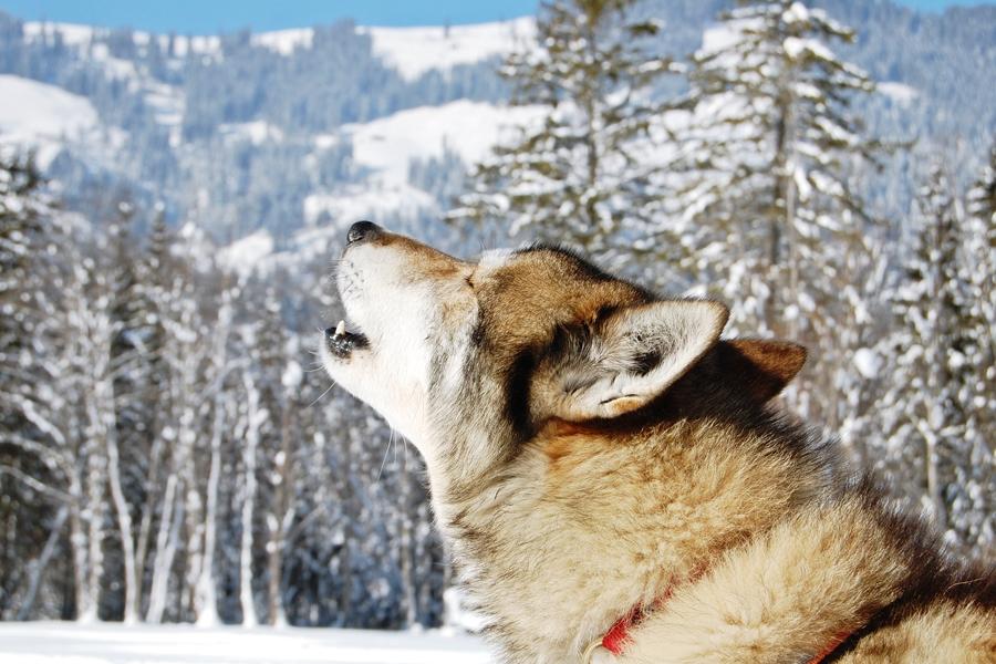 Balade chiens de traineau chiens de traineau (4)