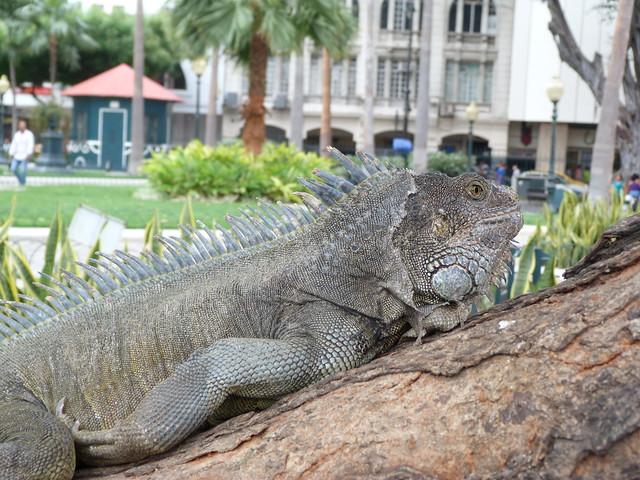 Iguana en el Parque Seminario de Guayaquil (Ecuador)