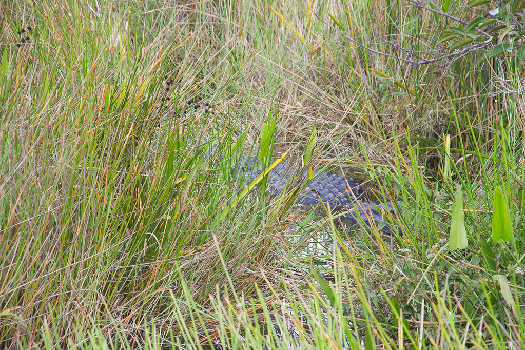 Gator hiding along the Anhinga Trail
