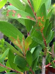 shrub(0.0), flower(0.0), strawberry tree(0.0), chokecherry(0.0), produce(0.0), fruit(0.0), food(0.0), bay laurel(0.0), schisandra(0.0), evergreen(1.0), leaf(1.0), plant(1.0), aquifoliaceae(1.0),