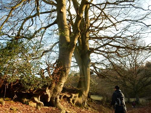 Big trees, gnarled roots