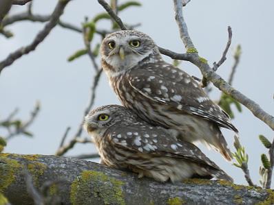 Civette / Little owl (Athena noctua)