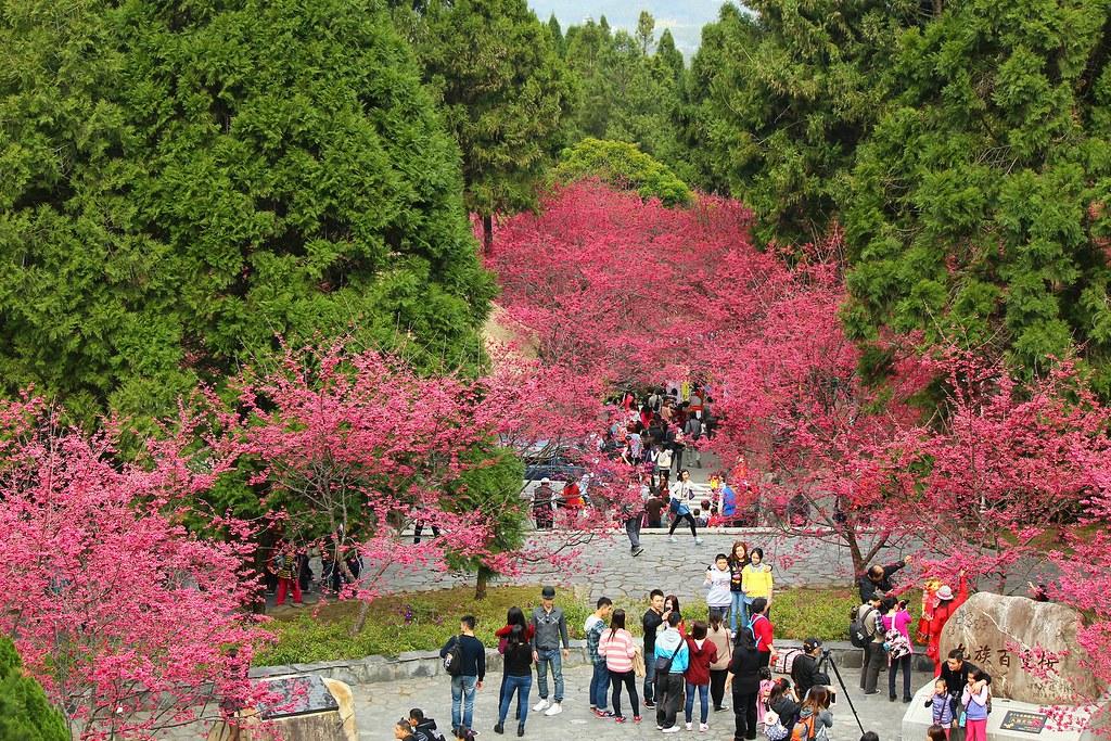 九族櫻花祭 (150)