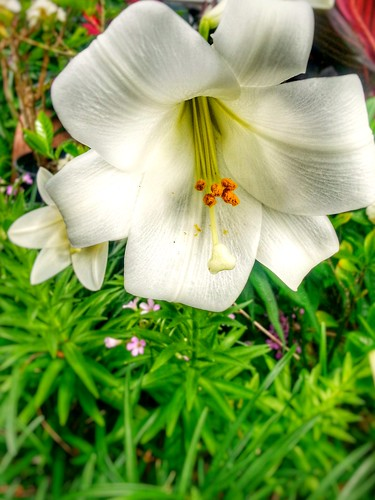 Lilly Garden
