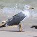 Steppe Gull at al Fizavah S24A8271
