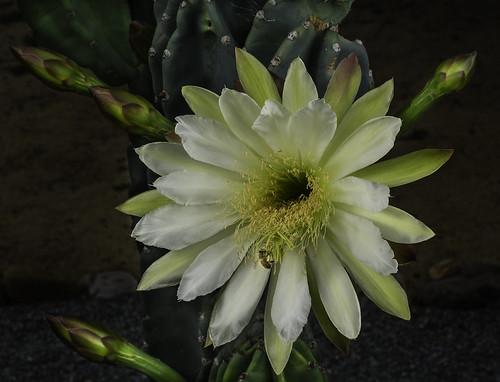 flower nature fleur ambientlight flor blossoms lakeside bee naturalbeauty softbox macrolens nightbloomingcactus pollinator offcameraflash lastoliteezbox yongnuorf603n yn560iii