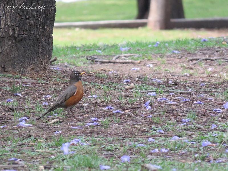 American Robin (Turdus Migratorius) Mexico City