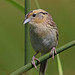 LeConte's Sparrow (Ammodramus leconteii) by Don Delaney