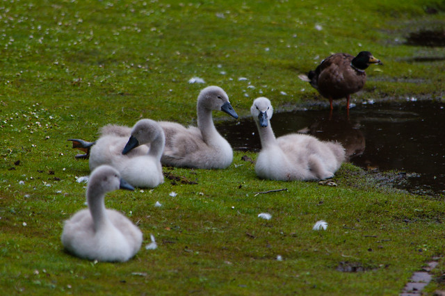 West Park cygnets resting by a puddle