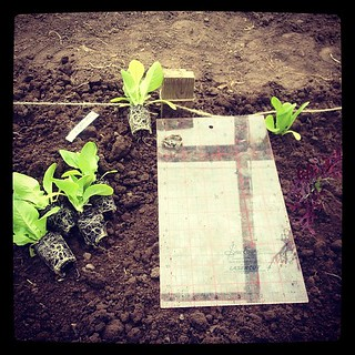 Finding alternative uses for my sewing and quilting rulers while planting up.