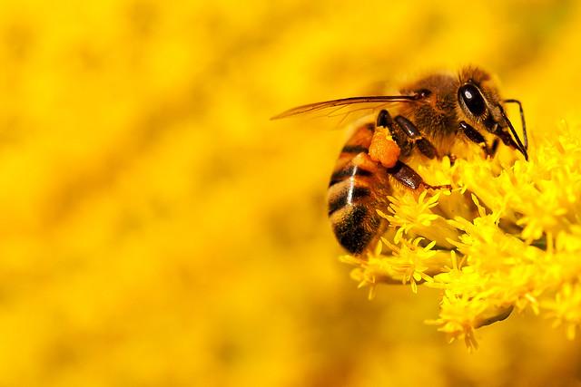Pollen Pollen