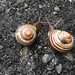 A pair of snails