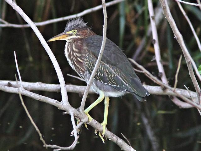 Green Heron juvenile COREL 2-20130602