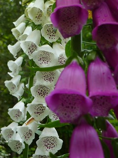 White & Raspberry Foxglove