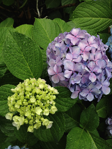 近所の紫陽花 2013/6/14
