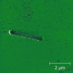 E. coli cell