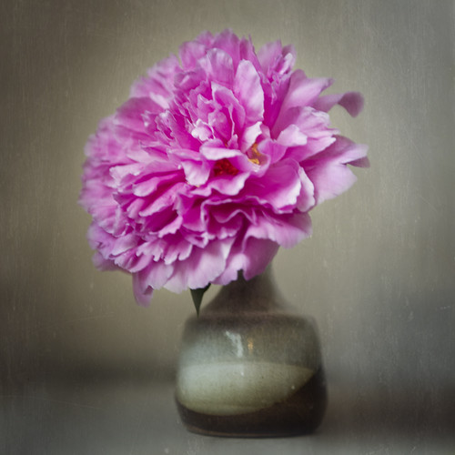 Peony Still Life by The Shutterbug Eye™