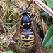 Vespula austriaca (Cuckoo Wasp)