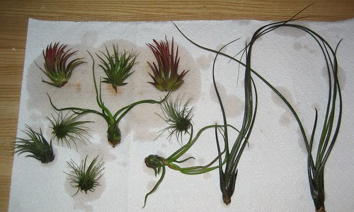 airplants 001
