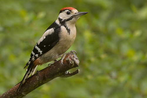 Young Woodpecker 6.jpg