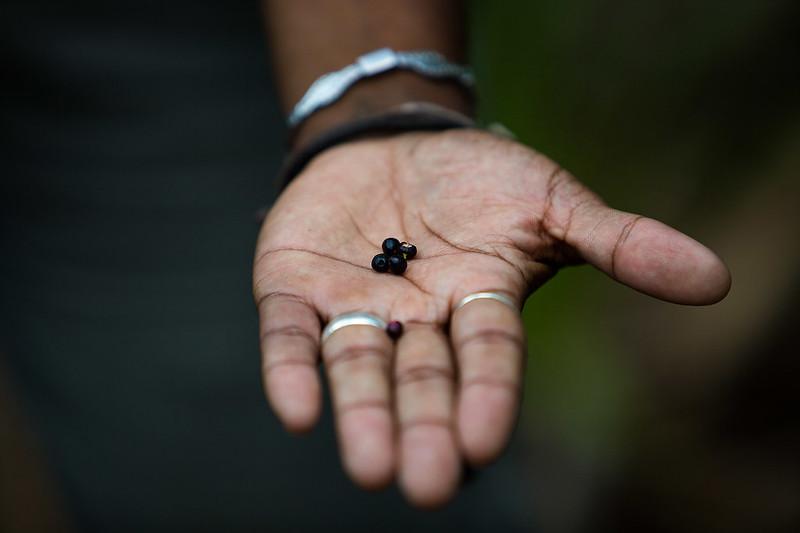 Black currants, bush tucker - Photo by Parks Australia