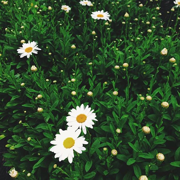 daisies. circles #julyphotochallengefpoe #fpoe #vscocam
