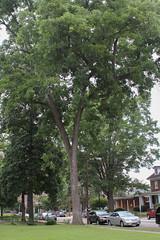 C_9_KEH pecan tree