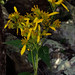 yellow crownbeard - Photo (c) Fritz Flohr Reynolds, some rights reserved (CC BY-SA)