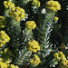 Myrtle Spurge - Colorado List A noxious weed