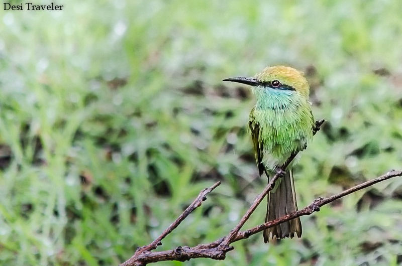 Bee Eater Bandipur Tiger Reserve