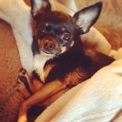 Leelu....My chihuahua