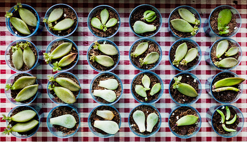 Propagating leaf cuttings succulents