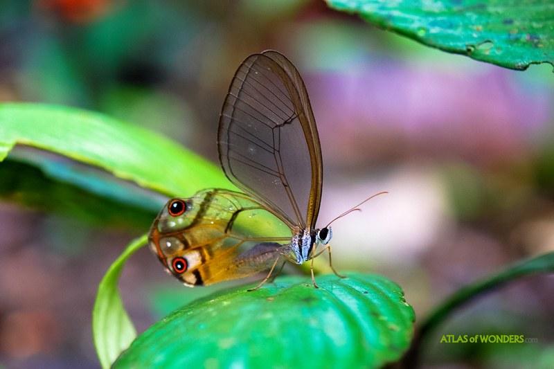 Yasuni Butterflies