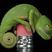 One day old Veiled Chameleon by Mike D. Martin