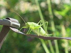 arthropod, animal, invertebrate, insect, macro photography, mantis, grasshopper, green, fauna, close-up, plant stem,