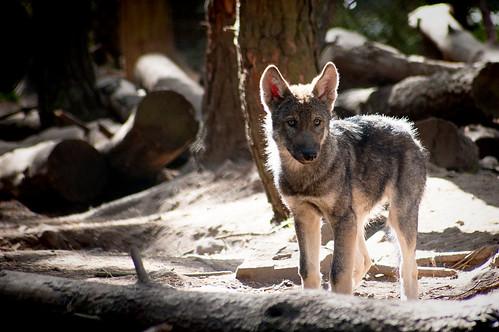 European Grey Wolf Cub by louise.helen