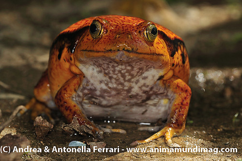 reefwondersdotnet posted a photo:	False Tomato Frog Dyscophus guineti, Sambava, Madagascar